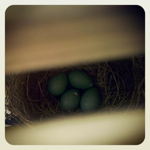 4 blue eggs in a nest